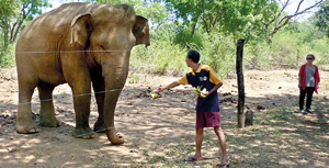 Local visitors and tourists are unwittingly encouraging a potentially lethal habit when they feed wild elephants.